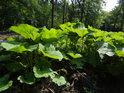 Lopuchové listy jako u horského potoka v mokřině pod Budačinou.