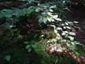 Slunce se dostalo skulinou do temného bukového lesa a osvětlilo buka juniora.