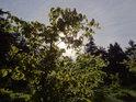 Zesilující jarní Slunce se prodírá mezi mladými bukovými listy.