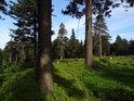 Romantické rozhraní smrkového lesa a paseky, porostlé borůvčím.