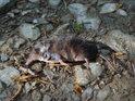 Mrtvý rejsek na lesní cestě.