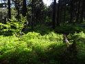 Sluneční ostrůvek v borůvčí mezi padlými i živými stromy.