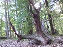 Pařez se zdá být po pilou uříznutém stromu, ale i zlomenina může být dost rovná a pak může být návštěvník lehce zmaten.