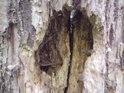 Dřevokazné larvy tu mají volné pole působnosti.