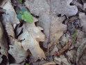 Mezi dubovými listy se dere na svět buk a mraveneček v lese, kdoví co asi nese.