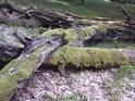 Dřevo umírajících buků jako by bylo plastické.