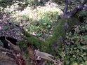 Ztrácející se padlý strom.