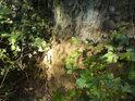 Tlející pata stále stojícího stromu.