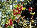 Nádherné šípky n podzim přímo vybízí ke sběru.