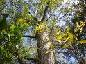Pohled do koruny topolu mate vrbové listí.