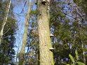 Choroše nelítostně napadají nemocné stromy.