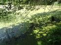 Prostřední částrovický rybník má hladinu porostlou žabincem.
