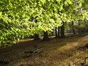 Slunce v bukovém listí.