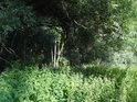 Kopřivy na okraji lužního lesa.