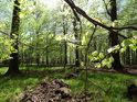 Mladé bukové listí v jarním lese.