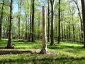 Pahýl napadeného stromu v prosluněném bukovém lese.