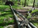 Jeden bukový kmen padá přes jiné v Šilheřovickém lese.