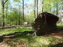 Dvojice bukových vývratů v Šilheřovickém lese.