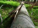 Silně naštípnutý ležící buk lesní.