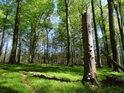 Lesní pěšina kolem choroši napadeného pahýlu buku.