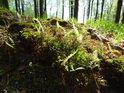 Mechové zátiší v Šilheřovickém lese.