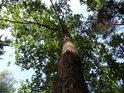 Jeden z mnoha dubů zřejmě pochází z hromadné výsadby.