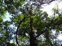 Dub s sousedství borovic.