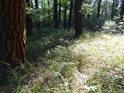 Sluneční palouček u mohutné borovice.