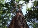 Mohutná borovice ční k nebesům mezi dubovými sousedy.