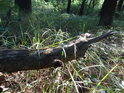 Pahýl dubové soušky ční nebezpečně ve výši kolen.