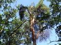 Borovice svými barvami oživují dubové porosty.