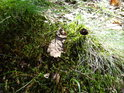 Loňský dubový list a borová šiška na mechovém zátiší.