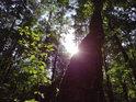 Lesní Slunce za ojedinělou břízou v Černém orlu.
