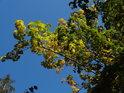 Javorové listy v podzimních barvách.