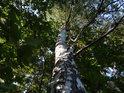 Bříza patří ke stromům, které pozná téměř každý, kdo o to stojí.