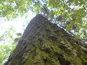 Pohleďme do výšky na dub.
