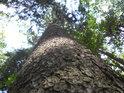 Pohleďme do výšky na borovici.