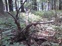 Vyvrácený strom může být dobrým úkrytem pro bažantí kuřátka.