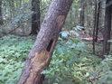 Dutina v napůl padlém stromu může být zajímavým úkrytem.
