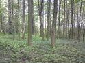 Malá bučina se zdá být fádní, stromy byly vysazeny zároveň.