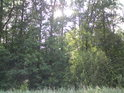 Slunce mezi duby prosvítá východní částí rezervace.