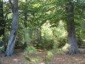 Mladá borovice mezi  letitými buky.