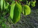 Listy meruňky úspěšně odolávají letnímu suchu.