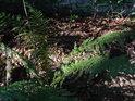Lesní zákoutí s kapradím.