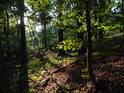 Slunce v bukovém lese.