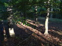 Dlouhé stíny buků v hustším lese konce nedojdou.