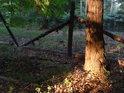 Ojedinělá borovice na Coufavé, osvětlená v patě večerními slunečními paprsky.