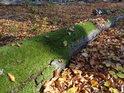 Kmen buku již dávno leží, mech jej obrostl a postupně stravuje.