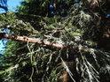 Lišejníky se usadily na smrkových větvích.