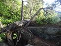 Velká a malá vylomená borovice.